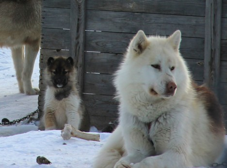 Greenlandic dog and puppy hanging out in the village.