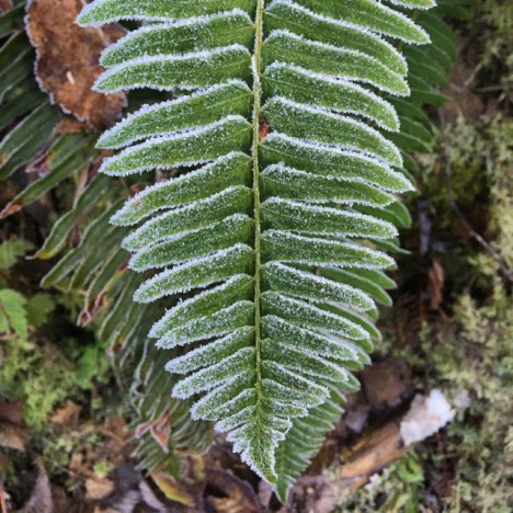 Frosty fern in the Quinault Rainforest (Photo credit: Angela Rowe)