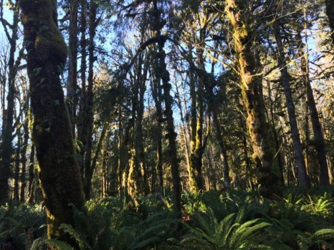 Quinault Rainforest on Thanksgiving Day (Photo credit: Angela Rowe)