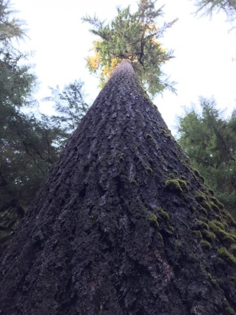 Large Douglas fir tree in the Quinault Rainforest