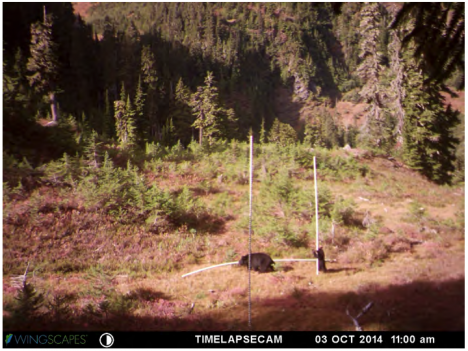 Mama Bear and Baby Bear trying to move the snow stakes to a 'better' location. Photo taken by the remote camera in October 2014.