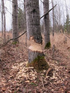 This photo shows a tree trunk that the beavers have only recently begun to gnaw away at with their super strong teeth. They will keep on gnawing this tree trunk until it becomes very thin and falls over.