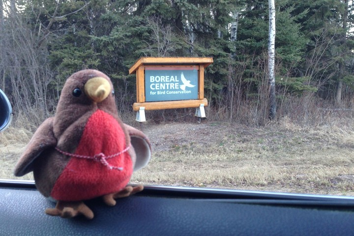 Chirpy arriving at the Boreal Center for Bird Conservation (BCBC).