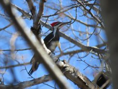 Pileated woodpecker  (photo credit: Brian Weeks)