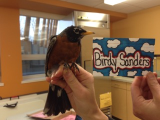 Birdy Sanders is an adult male. His name was chosen by Mr. Tan's 5th grade class. (photo credit: Ruthie Oliver)