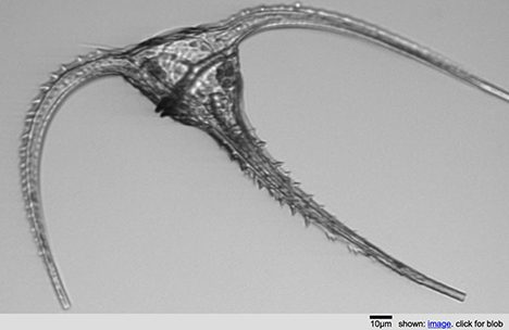 Picture of a ceratium taken by the IFCB