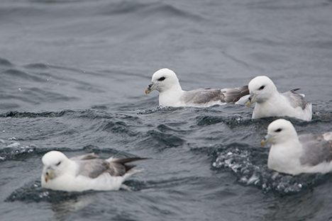 Local fulmars floating nearby of the ship. Photo:  Christian Laber
