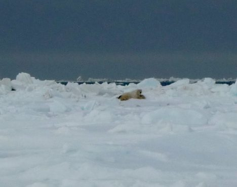A polar bear in the distance.