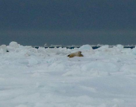 A polar bear in the distance.