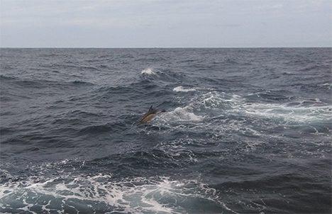 North Atlantic common dolphin. Photo: Luis Avellaneda
