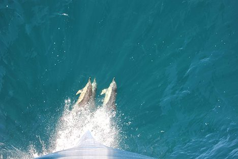 3 musketeer dolphins playing in front of the bow of the RV Atlantis.  Photo: Susanne Menden-Deuer