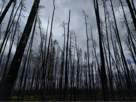 A recently burned forest in Saskatchewan, Canada. (Credit: Sander Veraverbeke)