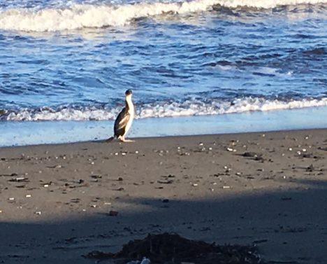 A cormorant on the beach in Punta Arenas, Chile. Hopefully next time I'll see a penguin! Photo by Róisín Commane