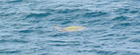 A sea turtle near Honolulu.