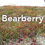 Bear Berry