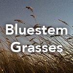 Bluestem Grasses